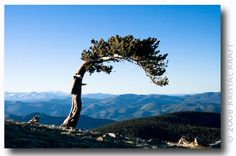 bristlecone pine, Mount Evans Colorado Colorado Mountains, Colorado Rockies, Rocky Mountains, Bristlecone Pine, Visit Colorado, Evans, Denver, Bayern, Utah