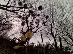 Kenko DSC880DW - スゴいね。 -  お散歩写真  水仙  宿り木  - Camera Talk -