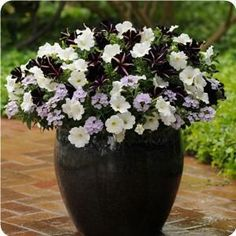 """Dramatic Pinstripe Petunia is the """"star"""" of this mixed combo. Paired here with Sun Spun White Petunia and Aztec Silver Magic Verbena. It's a whimsical and dainty design for sunny gardens. The plants fill and spill over the decorative pot."""