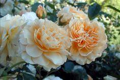 Rosa Buff Beauty.