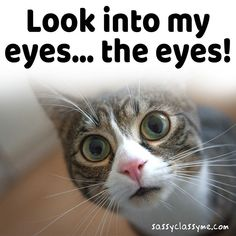 😸 😻 Look Into My Eyes.... The Eyes!! 😸 😻 #cats #animals #sassyclassyme #memes #catsofinstagram #funny #hilarious #lol #catloverscommunity #pets #catmemes #hilarious #funniest #memesdaily Funny Animal Memes, Funny Cats, Funny Animals, Funniest Cat Memes, Look Into My Eyes, Grumpy Cat, Cats Of Instagram, Cat Lovers, Hilarious