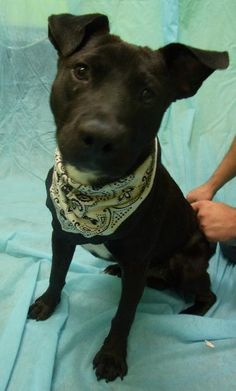 Rat Terrier • Young • Male • Large Cookeville/Putnam County Animal Shelter Cookeville, TN