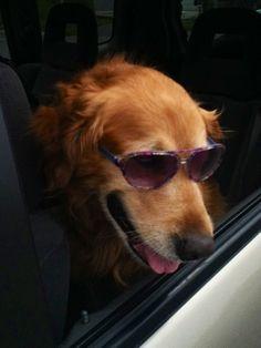 Golden Retriever Cool shades