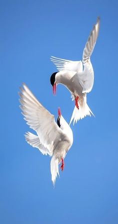 The Common Terns(Sterna hirundo) is a  graceful, black-and-white waterbird, that is the most widespread tern in North America. It can be seen plunging from the air into water to catch small fish along rivers, lakes, and oceans.