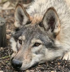They have the temperment of a German Shepherd, but they look like wolves. Unique Dog Breeds, Rare Dog Breeds, Wolf Photos, Wolf Pictures, Pet Dogs, Dogs And Puppies, Dog Cat, Animals And Pets, Cute Animals