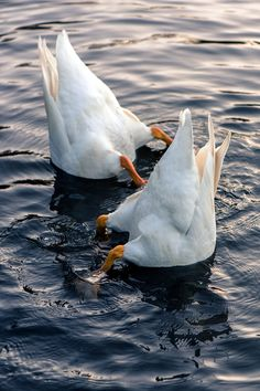 Bottoms up Two geese feeding with their bottoms in the air. by TheMrGnu on Cute Little Animals, Cute Funny Animals, Beautiful Birds, Animals Beautiful, Pet Ducks, Corgi Pembroke, Cute Cows, Nature Animals, Pet Birds