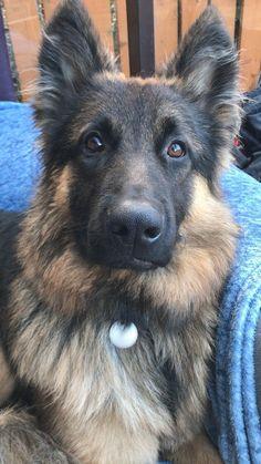 So fluffy! We <3 German Shepherds #GermanShepherds Vizsla Puppies, Cute Puppies, Dogs Pitbull, German Shepherd Puppies, German Shepherds, Terrier Mix Dogs, Labrador Husky, Dog Hoodie, Puppy Breeds