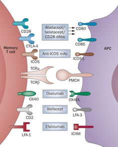 Figure 3: Co-stimulatory pathways that might modulate memory T-cell responses in transplantation and autoimmunity.