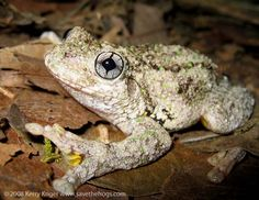 Emerald Spotted Tree Frog
