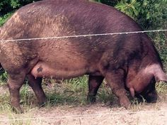 Pig Watch 2016 Pig Pen, Hippopotamus, Real Life, In This Moment, Watch, Dogs, Animals, Animaux, Doggies