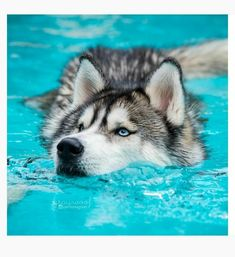 baby husky Pets have more love and compassion in them than most humans. huskies husky dog husky adoption a husky dog a husky puppy husky breeds husky baby husky blue eyes husky colors Malamute Husky, My Husky, Husky Puppy, Alaskan Husky, Husky Breeds, Dog Breeds, Baby Huskys, Husky With Blue Eyes, Blue Eyed Husky