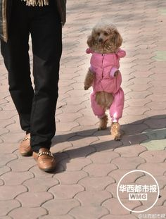 <b>Amputated dog learns to walk like human</b><br /><br />Meet Barbie, a dog from Chengdu city in southwest China's Sichuan Province. Though it lost both its front legs in a car accident in 2010, the canine has learned to walk on its two hind legs. Barbie can now walk as far as one kilometer at one go and is a star of the community, according to Huaxi Metropolis News.