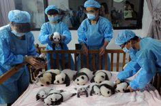 filhotes de panda gigante em extinção