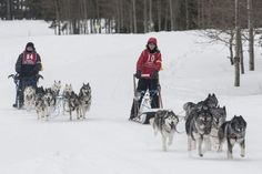 Casper Mountain Sled Dog Races Casper Wyoming, Sled, Husky, Mountain, Racing, Dogs, Animals, Lead Sled, Running