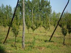 Panoramio - Photo of Arboles de manzana nuevos en el Alto Valle del Río Negro, Argentina