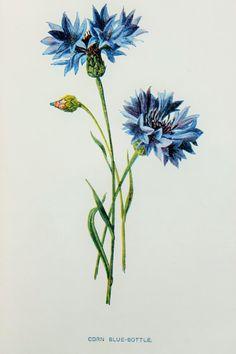 Corn BlueBottle or Cornflower Daisy Family by PaperPopinjay, $5.00