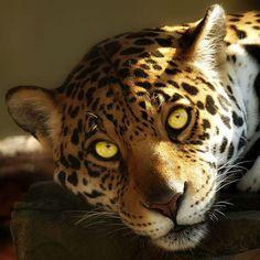 You are getting sleepyyyy  #sandiegozoo#coolcats