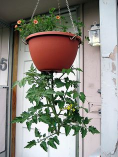 Homemade Upside Down Tomato Plant! --just in time for Earth Day! this is really simple to do! just pick out any hanging pot of your choice, carve a hole in the bottom, and feed your tomato plant though the hole. (roots inside, preferably not full grown) - Growing Tomatoes Indoors, Growing Tomato Plants, Growing Tomatoes In Containers, Growing Vegetables, Grow Tomatoes, Upside Down Plants, Upside Down Tomato Planter, Diy Planters, Garden Planters