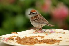 Little Brown Sparrow stock photo