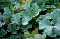 lisztharmat Plant Leaves, Herbs, Garden, Plant, Garten, Lawn And Garden, Herb, Gardens, Gardening