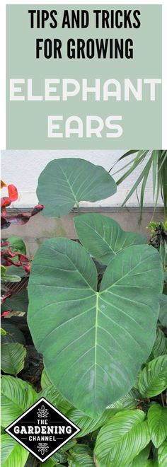 Learn how to plant elephant ears, fertilize, cut, water and maintain these large plants in your garden.