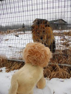 Aslan is curious to meet the new male lion in town  www.wildcatsanctuary.org
