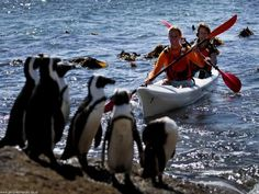 Kayaking at cape town, South Africa offers the fantastic opportunity to explore the glamorous coastlines and experience the awesome marine life of seals, whales, dolphins, penguins and numerous types of fish.