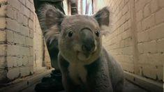 Koala running down the hall (+playlist)