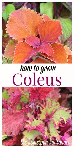 how to grow coleus blumei from seeds