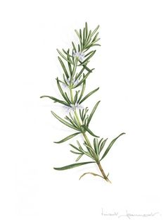 Art Prints - Foliages - VINCENT JEANNEROT. Botanical watercolor Botanical Drawings, Botanical Illustration, Watercolor Illustration, Watercolor Ideas, Botanical Art, Rosemary Flower, Rosemary Plant, Rosemary Tattoo, Herb Tattoo