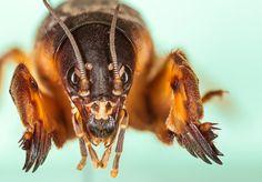Aliens among us II - European mole cricket (Gryllotalpa gryllotalpa)