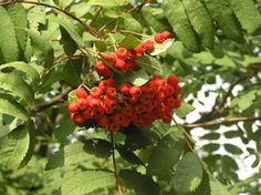 Kitchen Witch School of Natural Witchery: Celtic Tree Month of Rowan  http://www.kitchenwitchuk.blogspot.co.uk/2013/01/celtic-tree-month-of-rowan.html