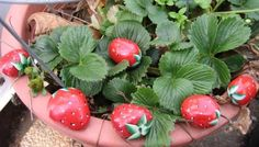 Strawberry painted rocks - Eia, I need these! and some of your ornamental strawberry plants.