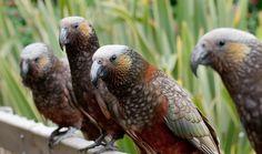 New Zealand Kaka - Google Search