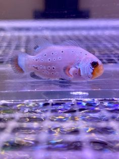 Frostbite Clownfish for Sale Online Live Aquarium Fish, Saltwater Aquarium, Fish Stock, Marine Fish, 1 Live, Tropical Fish, Fresh Water, Exotic, Clownfish