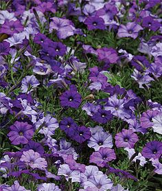 "spreading, Shock Waveâ""¢ Denim Petunia Seeds and Plants, Annual Flower Garden at Burpee.com"