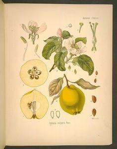 Image of Illustration of CYDONIA vulgaris Pers. 34