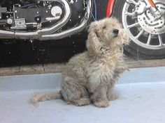 04/30/15-PASADENA, TX- Pasadena Animal Shelter 12 hrs · This DOG - ID#A112082 I am a male, white Poodle - Miniature. The shelter staff think I am about 5 years old. I have been at the shelter since Apr 27, 2015. Visit me at Pasadena Animal Shelter 5150 Burke RD, Pasadena, TX 77504 281-991-0602