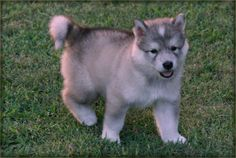 wolf dog puppy