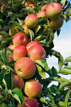 Want to add an apple tree to the landscape? We share the details on 21 of our favorite varieties. Read more. Apple Garden, Fruit Garden, Garden Trees, Garden Plants, Apple Tree Drawing, Growing Apple Trees, Growing Tree, Apple Tree Farm, Baumgarten