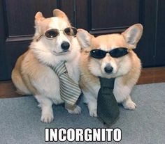 """thefrogman: """" Roy the Corgi: So… do we have a deal? Gerry the Corgi: Yeah, do we have a deal? Office guy: I'm sorry guys, I just don't think my business has a need for sticks you found. Roy the Corgi:. Cute Puppies, Cute Dogs, Dogs And Puppies, Awesome Dogs, Baby Animals, Funny Animals, Cute Animals, Nature Animals, Funny Animal Pictures"""