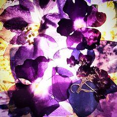 #purple #flowers #floral #nightlight #bright #light #lit #backlit #glass #pressed #violets #bold #vivid #vibrant