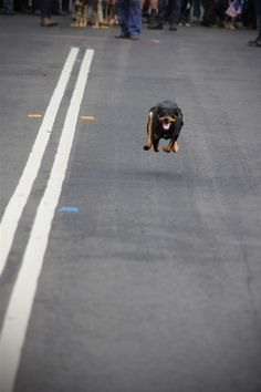Mack the Kelpie on the track in the dash event Cute Photography, Colour Photography, Australian Dog Breeds, Doggies, Dogs And Puppies, Dog Funnies, Flat Coated Retriever, Aussie Dogs, Medium Sized Dogs
