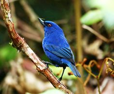 """Indigo Flowerpiercer: inhabits a somewhat small range in the northern Amazon Basin. Its nearly violet plumage, from which it gets its name, makes this avian the quintessential """"pretty bird."""" Read more at http://blog.therainforestsite.com/three-amazing-amazonian-avians/#DZeJQTzMJKRVO1rk.99"""