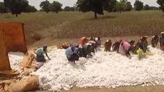 Pour le géant américain Monsanto, le continent africain est une terre promise. Le Burkina Faso fait une marche arrière spectaculaire, il abandonne le coton transgénique et revient aux semences traditionnelles. ( EN voilà une excellente nouvelle ! J'espère qu'elle incitera d'autres pays à suivre le même choix et que Monsanto remboursera ces victimes qui ont déjà pas mal à faire dans l'un des pays les plus pauvre d'Afrique. )