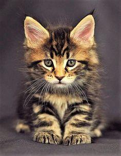 Maine Coon, kitten 'Oracle', 6 weeks old.