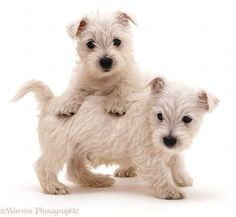 Westie West Highland Terrier Puppy Dogs