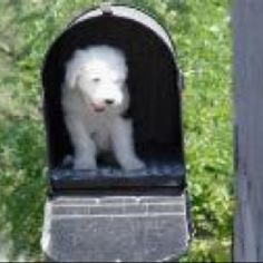 Puppy Mail. Our Old English Sheepdog puppy.