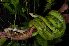 Gonyosoma oxycephalus - Red-tailed Racer | Flickr - Photo Sharing!