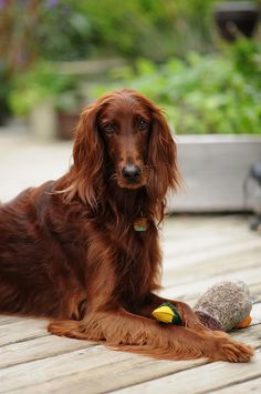 I had an Irish Setter named Ripley from the time he was 7 weeks old until my husband and I divorced when Ripley was almost 11 years old. Took him to obedience school twice. Very well trained.(Patty)